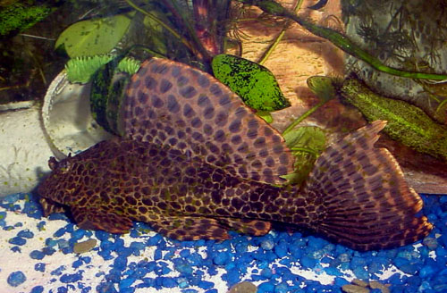 ... gourami, Stick the sailfin pleco and Jesse, the pretty little cory